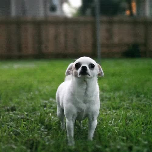 Watch chihuahua, dog, dogs, pet, pets GIF on Gfycat. Discover more related GIFs on Gfycat