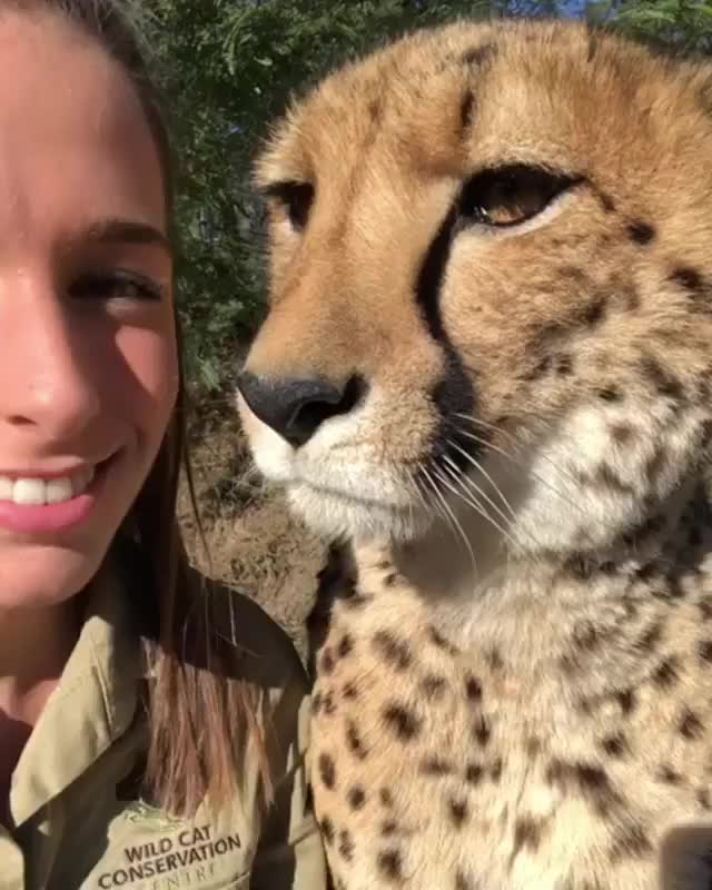 A cheetah and their caretaker exchanging kisses GIFs