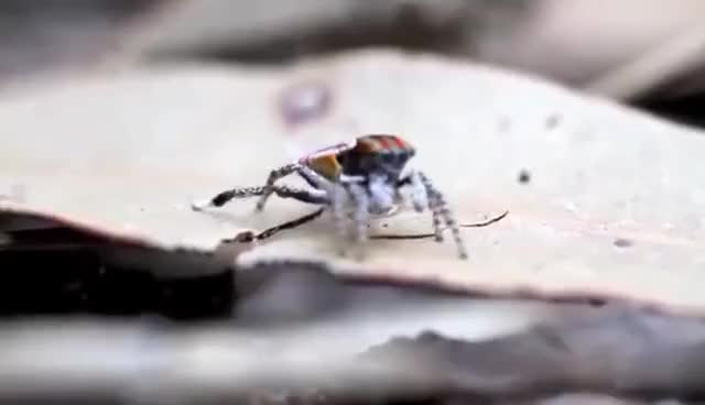 Watch this spider GIF on Gfycat. Discover more Peacock, peacock, spider GIFs on Gfycat