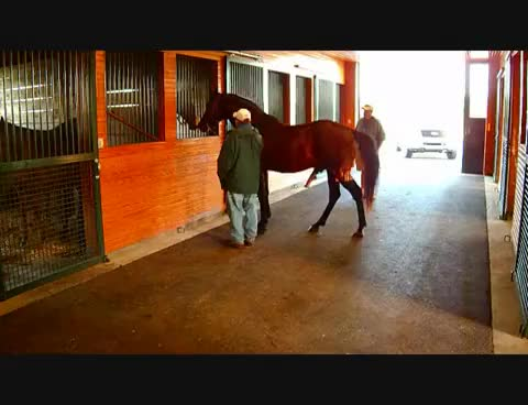 Watch A Horse named Chicken Gets to Breed. GIF on Gfycat. Discover more related GIFs on Gfycat