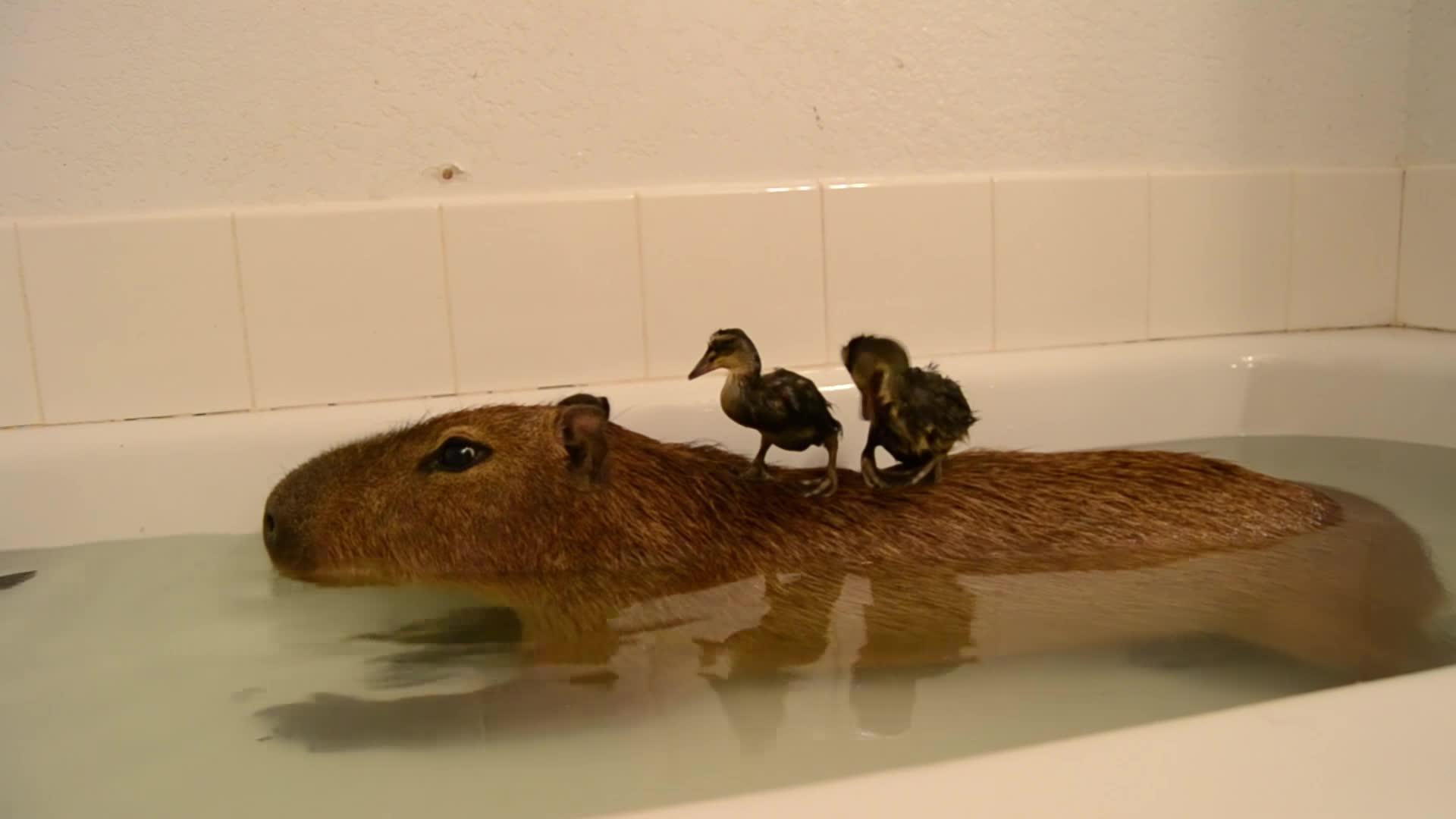 animals, awesome, capybara, crazy cody's creatures, ducks, joejoe the capybara, pets & animals, Capybara Island! GIFs