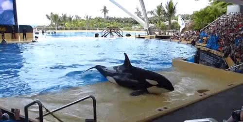 Watch and share Unusual Behaviour GIFs and Killer Whale GIFs on Gfycat