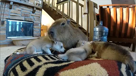 Watch funny animal gifs capybara cuddling with puppies GIF on Gfycat. Discover more aww GIFs on Gfycat