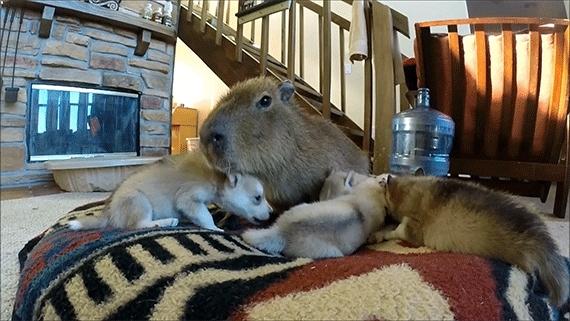aww, funny animal gifs capybara cuddling with puppies GIFs