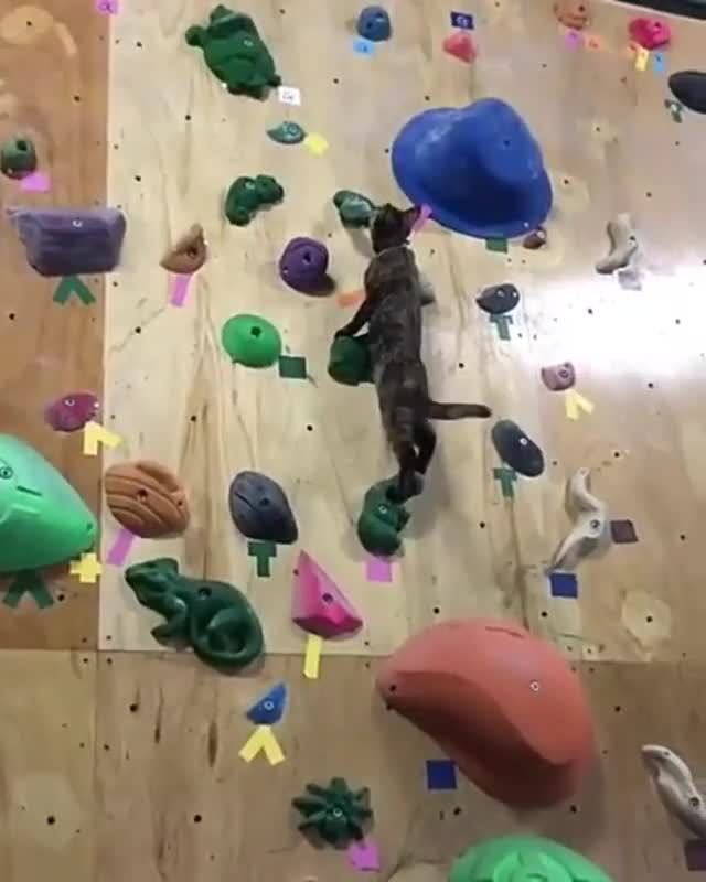 Watch this cat GIF by PM_ME_STEAM_K3YS (@pmmesteamk3ys) on Gfycat. Discover more cat, climbing, rock climbing GIFs on Gfycat