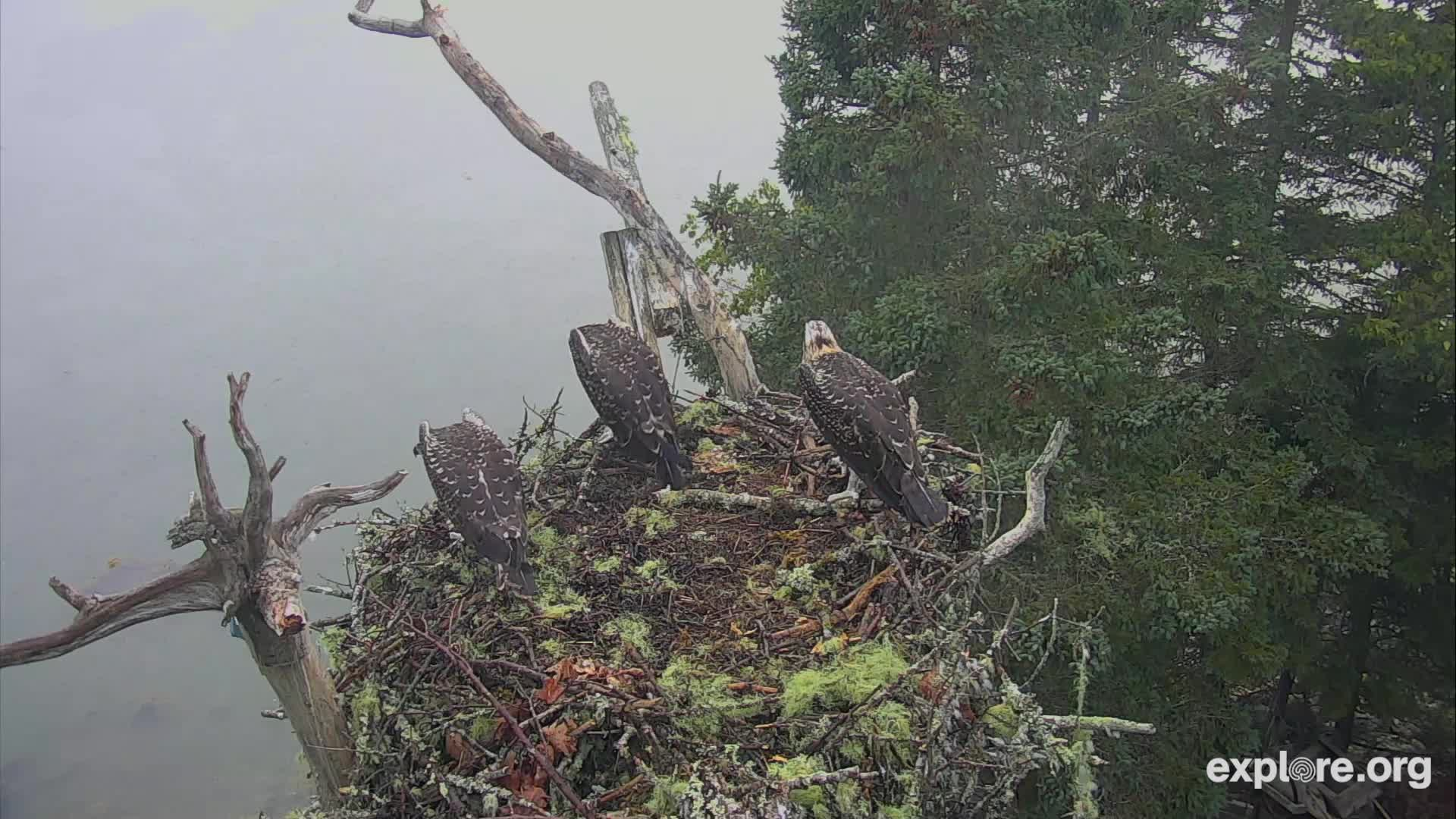 Bald Eagle snatches an Osprey chick GIFs