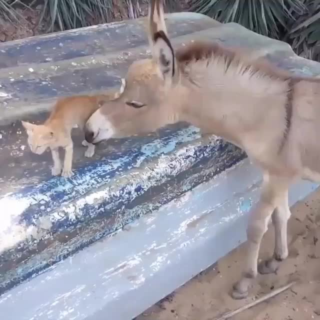 World Animal News, cat, donkey, kitten, world animal news, Not the ones speaking the same language but the ones sharing the same feeling, understand each other. - Rumi - - Love is the universal langu GIFs