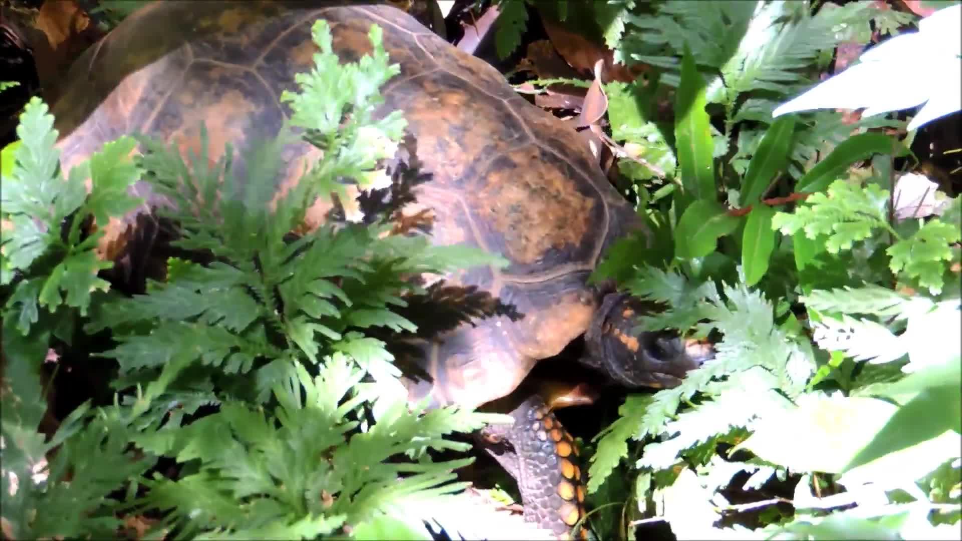 Chelonia, Chelonoidis denticulata, Guyana, Iwokrama, Rupununi, Surama, i love turtles, tortoise, turtle, yellow-footed tortoise, Male and Female Yellow-footed Tortoise in Rupununi, Guyana GIFs