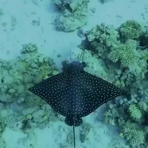 Watch and share A Spotted Eagle Ray Glides Over The Edge Of A Coral Reef In The Southern Red Sea. GIFs by saleh on Gfycat