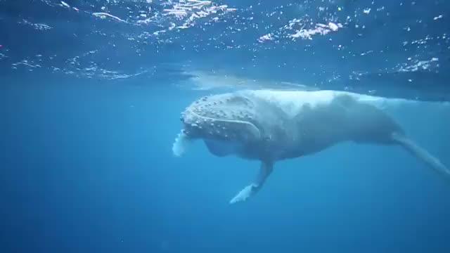 Watch and share Playful Humpback Calf GIFs on Gfycat