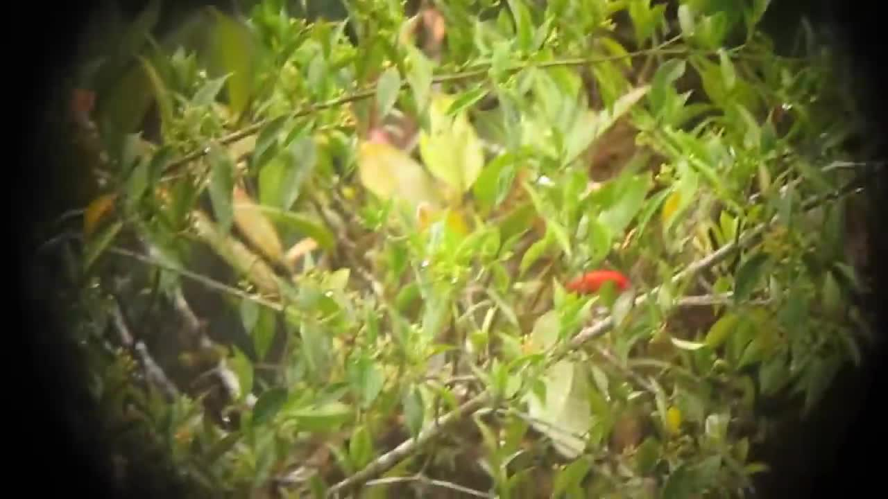 Scarlet-and-white Tanager GIFs