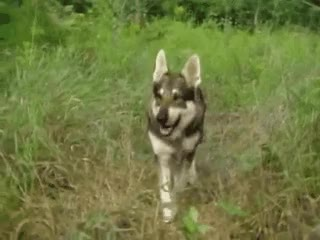 Watch Hobo GIF: Pup Luck – The Littlest Hobo – Medium GIF on Gfycat. Discover more related GIFs on Gfycat