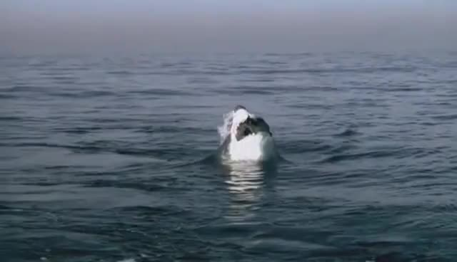 Watch and share Great White Shark Attack - BBC's Planet Earth ® GIFs on Gfycat