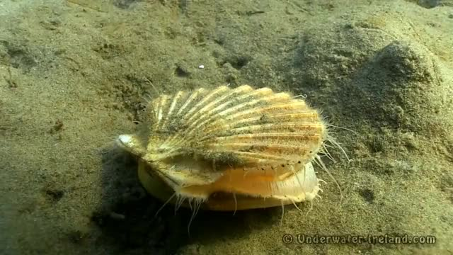 Watch and share Clam / Sea Scallop Swimming / Jumping Underwater. Mulroy Bay, Ireland. GIFs on Gfycat