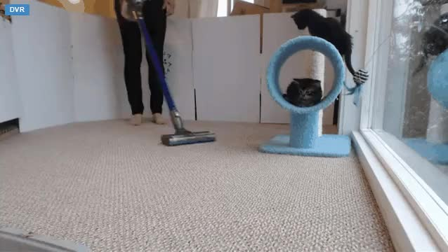 Watch and share Kitten Freaks Out Over Vacuum Cleaner. Mother Comes To Help. Kitten Detective Force Surveys The Scene. (reddit) GIFs on Gfycat