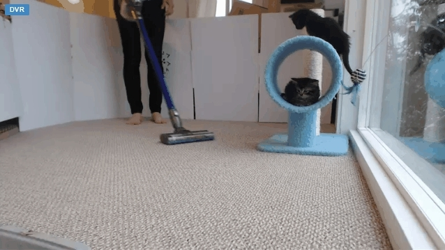 StartledCats, startledcats, Kitten freaks out over vacuum cleaner. Mother comes to help. Kitten detective force surveys the scene. (reddit) GIFs