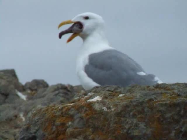 Birds, California Gull, EYm1kW4rxHQ, Funny, Nature, No Gag Reflex, Gull Eats Starfish GIFs