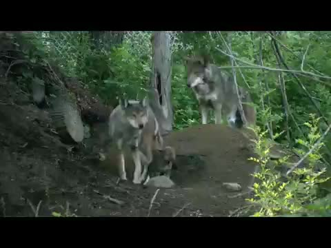 Watch and share Canis Rufus GIFs by likkaon on Gfycat