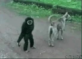 Watch and share Gibbon Best Ape Chimpanzee Can Suck My Nuts Ec GIFs on Gfycat