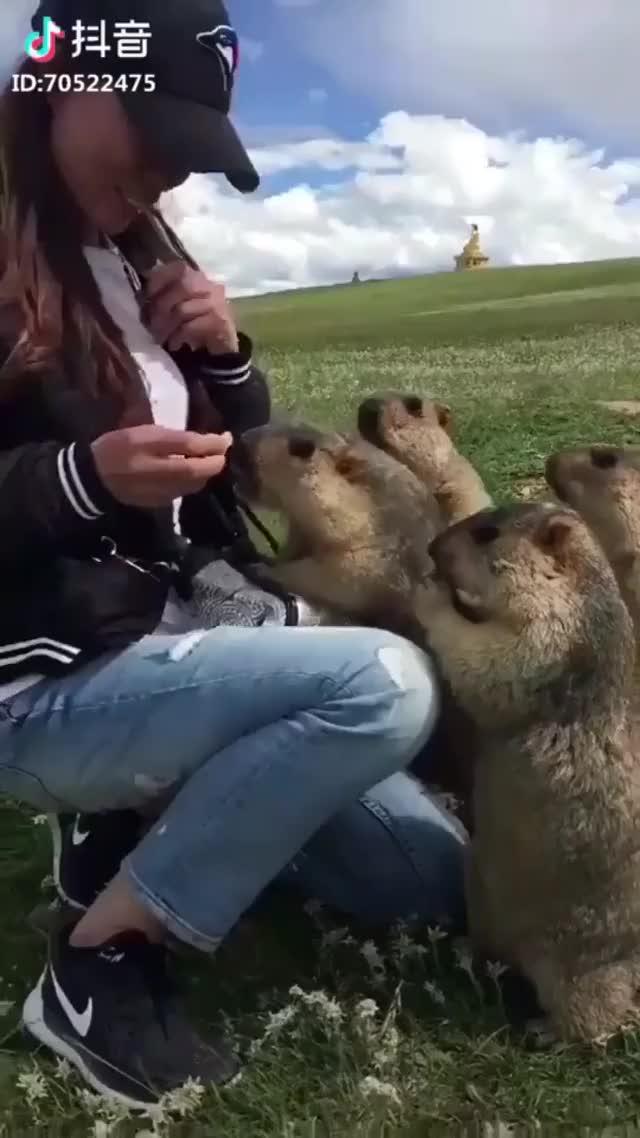 Watch Nom nom nom GIF on Gfycat. Discover more cute, marmot, nom GIFs on Gfycat