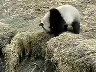 panda funny