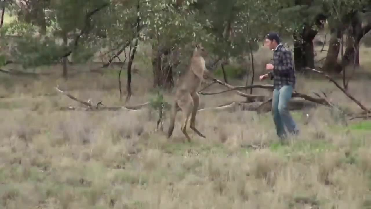 Aussie, Dog, Kangaroo, Ozzy, animals, australia, commentate, face, fight, funny, hunting, man, narrate, punch, rescue, review, roo, straya, wildlife, Ozzy Man Reviews: Man Punches Kangaroo GIFs
