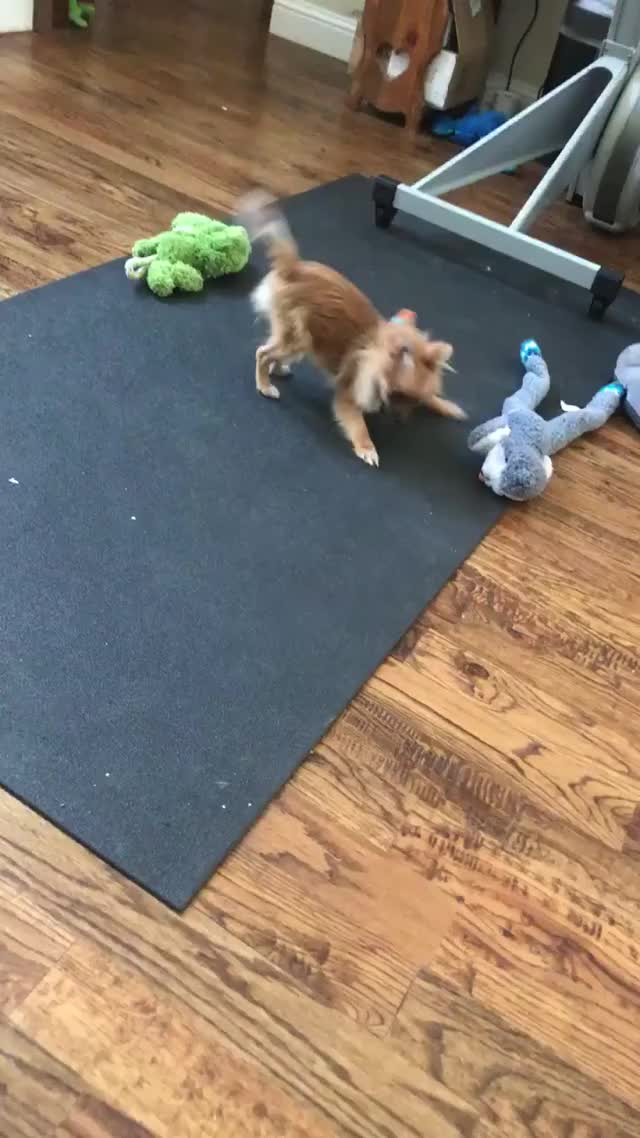 Watch Ruby chasing her own tail GIF by @teknoma104 on Gfycat. Discover more chasing tail, cute, pomeranian GIFs on Gfycat