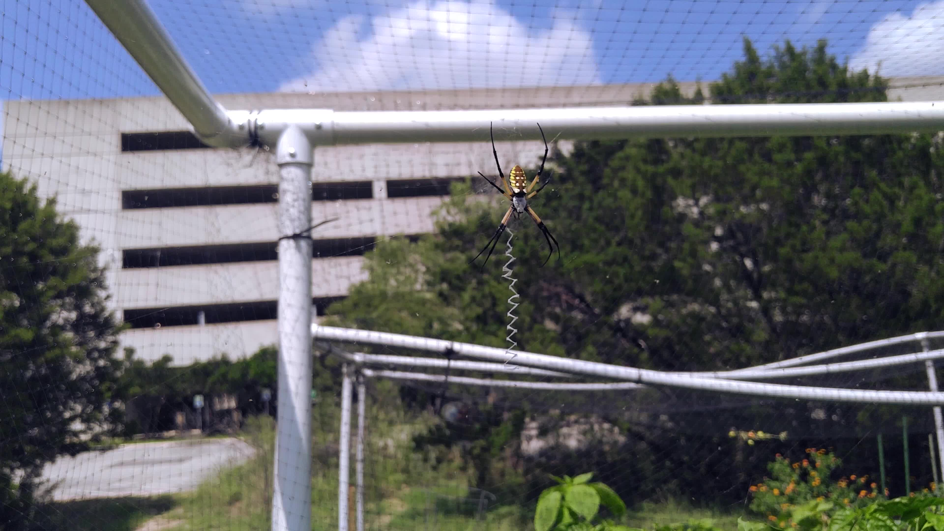 spider, Yellow garden spiderbro (Argiope aurantia) quickly wrapping up a grasshopper GIFs