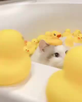 Watch and share Chickens GIFs and Bath GIFs on Gfycat