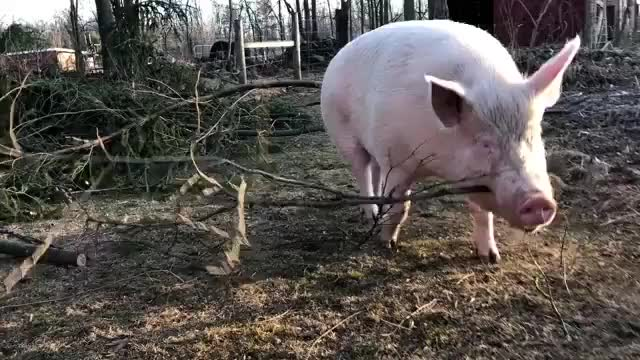 Watch Esther the pig  GIF by RoyalKoala23 (@hhrk23) on Gfycat. Discover more related GIFs on Gfycat