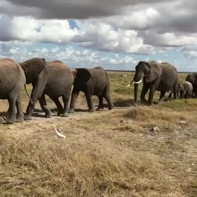 Watch and share A Wild Elephant Herd At Amboseli National Park, Kenya. GIFs by PM_ME_STEAM_K3YS on Gfycat