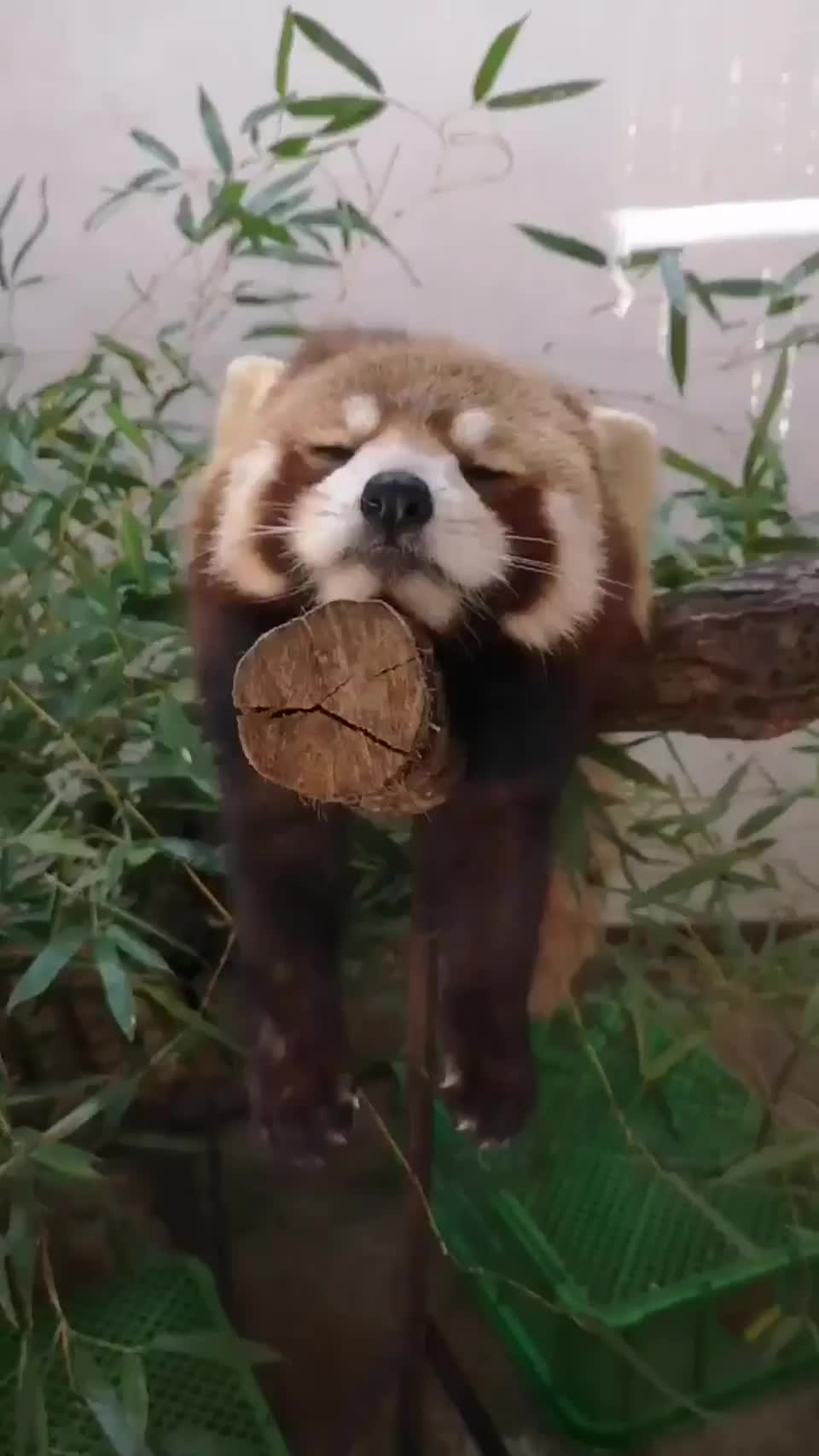 Sleepy red panda GIFs