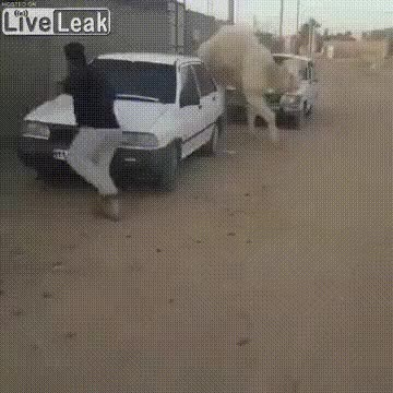 Watch and share Angry Camel Chasing A Man GIFs on Gfycat