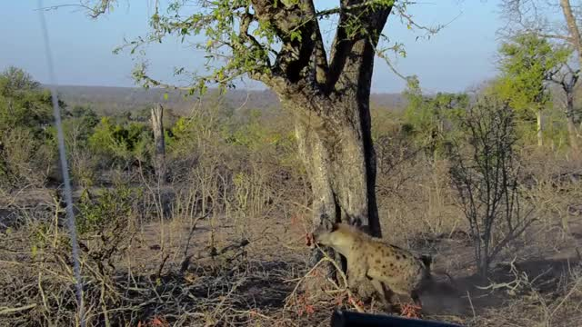 Watch and share Hyena Versus Leopard GIFs by Londolozi Game Reserve on Gfycat