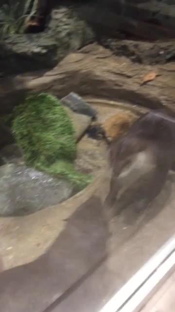 GifsofOtters, cute, wrestling, Otter buddies wrestling GIFs