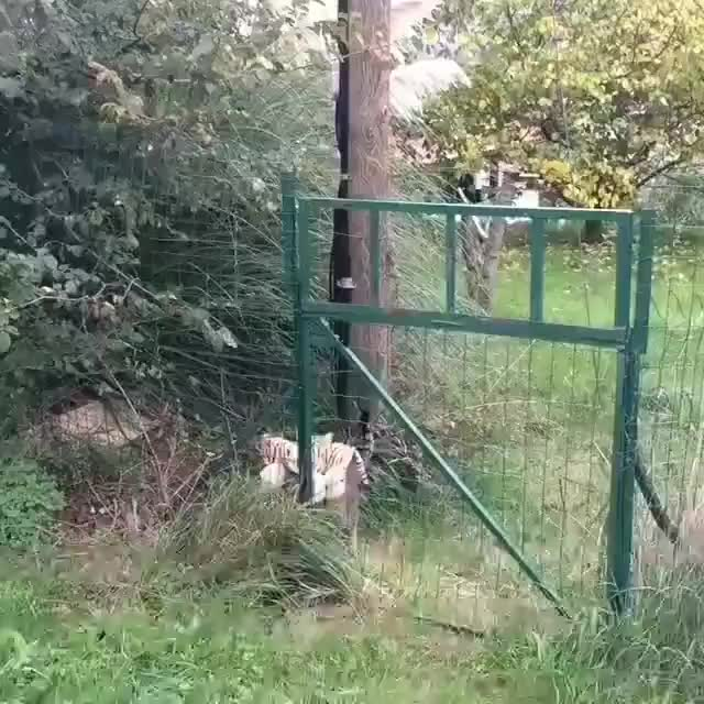 Cat returns victorious from their tiger hunt GIFs