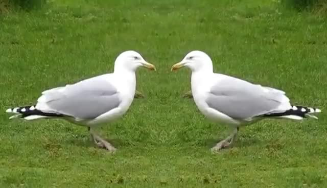 Watch and share Seagull Riverdance GIFs on Gfycat