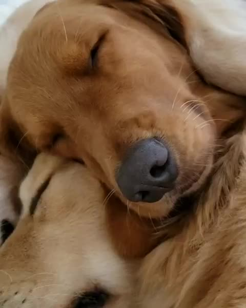 Watch and share Dailygolden GIFs and Goldenpuppy GIFs by mayaxs on Gfycat