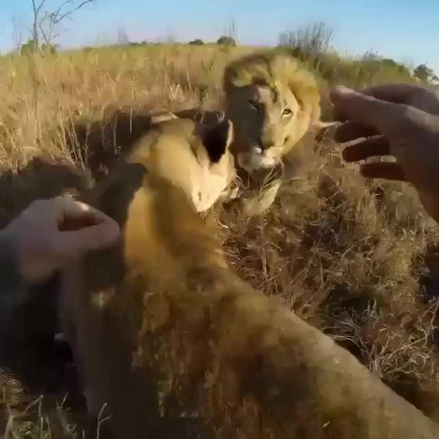 Watch this lion GIF by tothetenthpower (@tothetenthpower) on Gfycat. Discover more lion GIFs on Gfycat