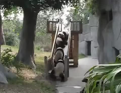 Watch this panda GIF on Gfycat. Discover more cute, funny, panda GIFs on Gfycat