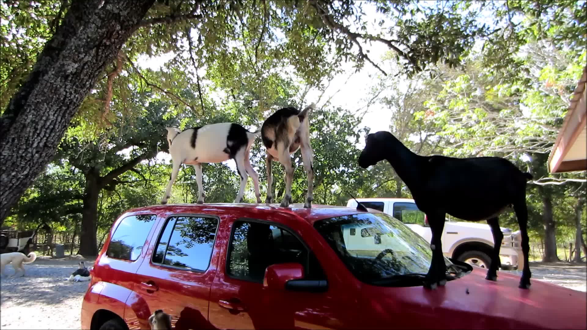 goat, goatparkour, knsfarm, rooftop, Rooftop Fight GIFs