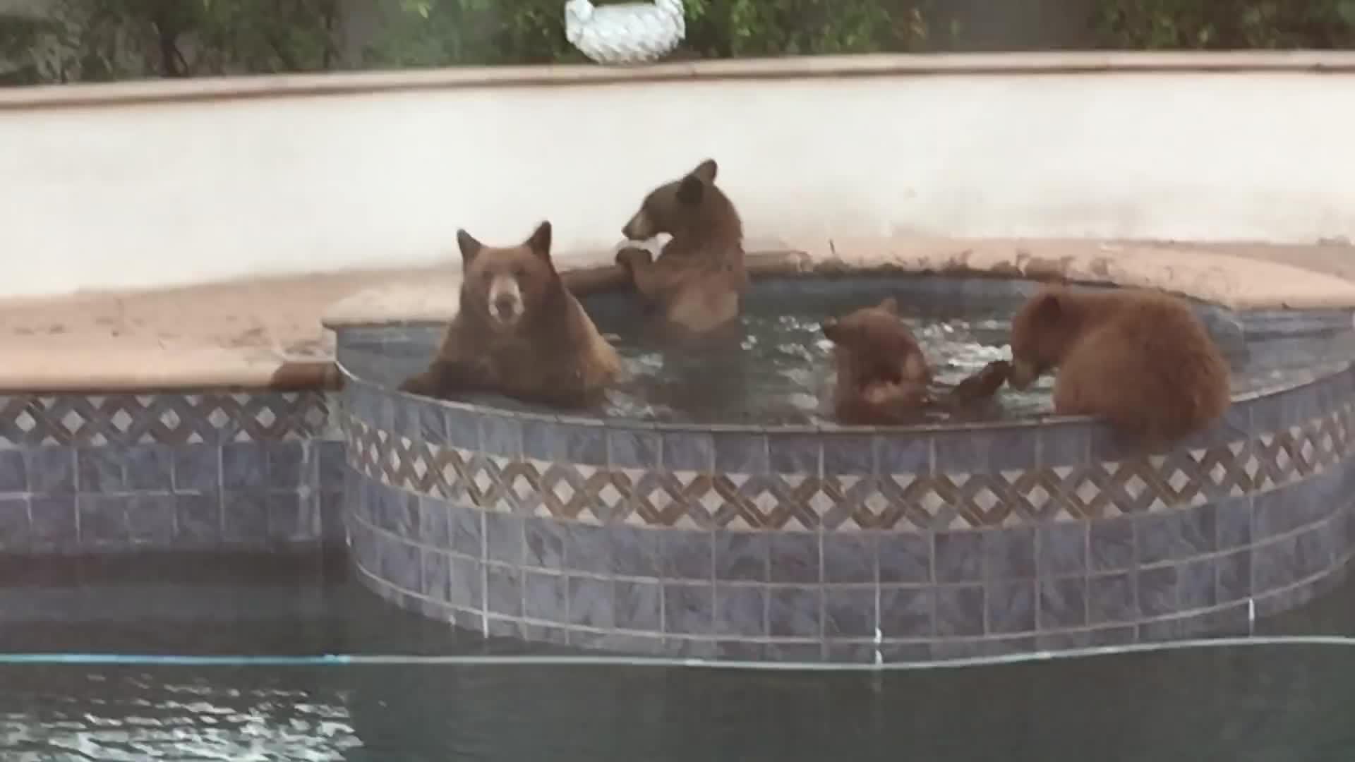 bath, bear, bears, pool, wildlife, bears in the pool GIFs