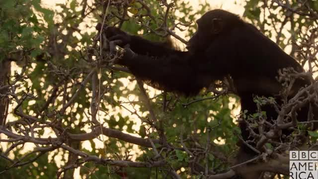 Dynasties Chimp David Hungry
