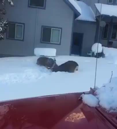 Two bucks battling in the snow GIFs