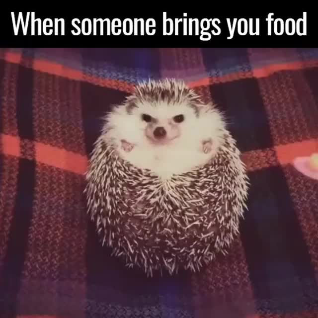 Watch When someone brings you food GIF on Gfycat. Discover more Hedgehog GIFs on Gfycat