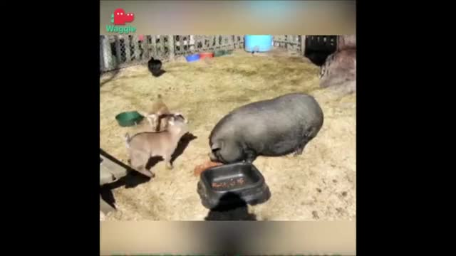 Watch Extreme Pig-top Parkour (Source: Unknown) GIF by KNS Farm (@knsfarm) on Gfycat. Discover more aww, cute, eyebleach, funny, goatparkour, goats, kids, knsfarm GIFs on Gfycat