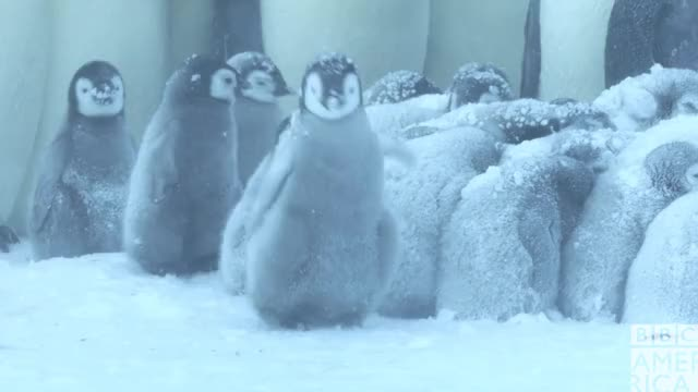 Watch this advert GIF by BBC America (@bbcamerica) on Gfycat. Discover more animal, animals, bbc america, bbc america dynasties, bbc america: dynasties, cold, dynasties, emperor penguin, emperor penguins, excited, happy, penguin, penguins, yay, yes GIFs on Gfycat