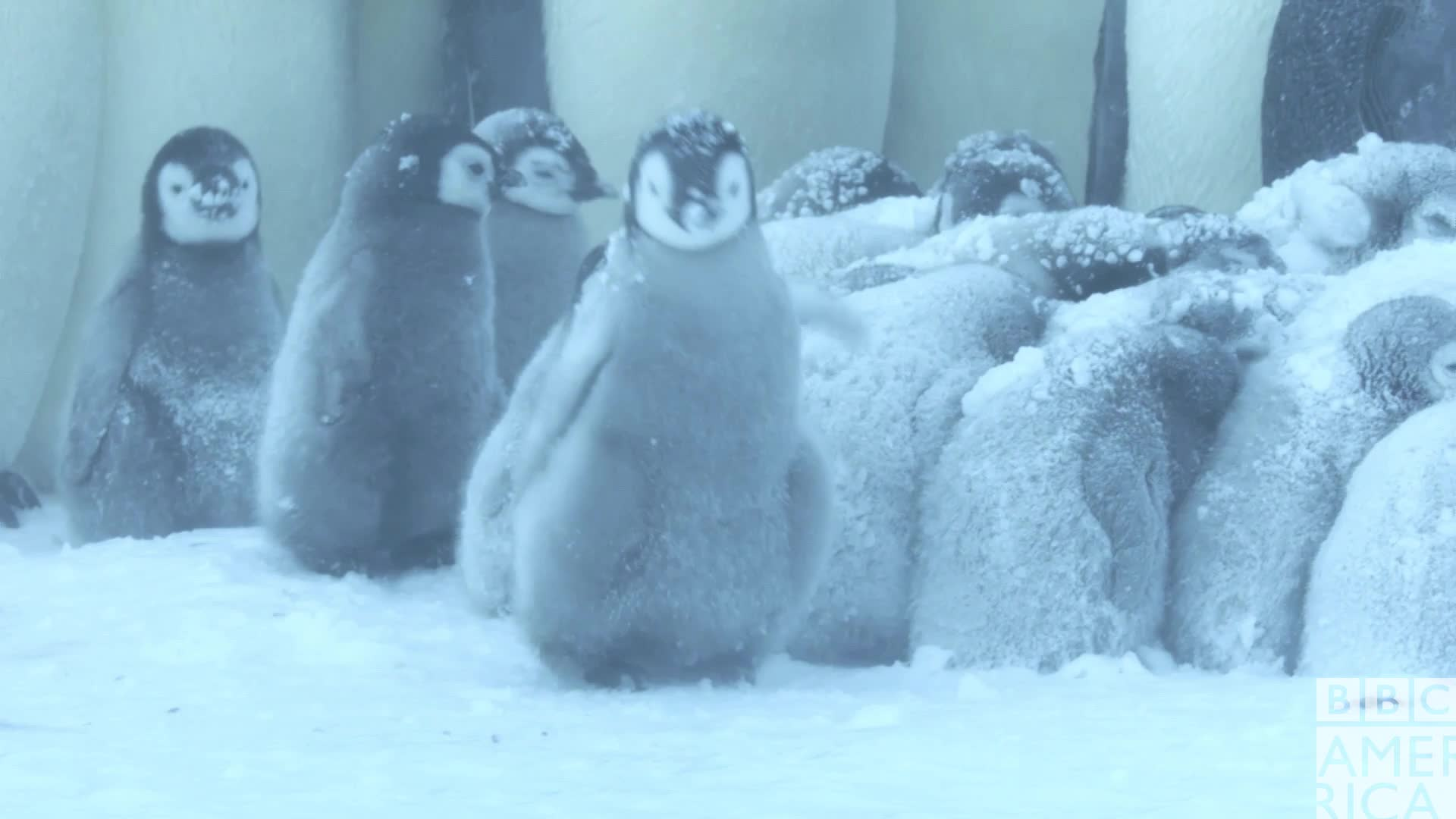 animal, animals, bbc america, bbc america dynasties, bbc america: dynasties, cold, dynasties, emperor penguin, emperor penguins, excited, happy, penguin, penguins, yay, yes, Dynasties Excited Penguin Chick GIFs