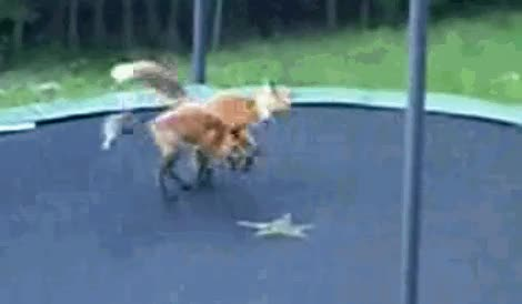 Foxes on a trampoline GIFs