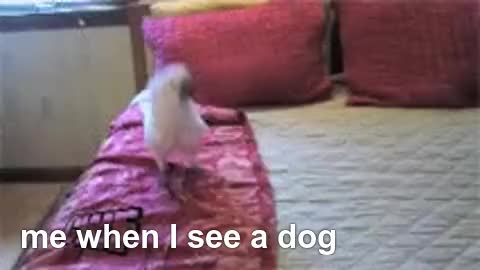 Watch Cute Cockatoo GIF - GIF by the corgi (@thecorgigif) on Gfycat. Discover more cockato, dogos, funny GIFs on Gfycat